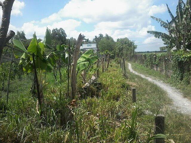 Cần làm gì để cải tạo đất trồng cây lâu năm?