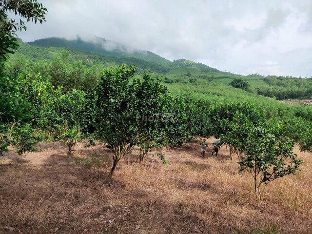 Đất trồng các loại cây lâu năm cần phải chú trọng giữ dinh dưỡng, chống xói mòn