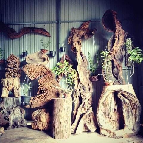 Ghép lan trên gỗ lũa là bí kíp được dân chơi lan ưa chuộng
