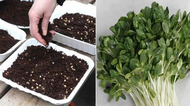 Bật mí các loại giá thể trồng rau mầm mang lại hiệu quả cao
