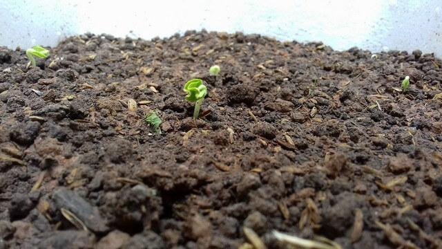 Có nhiều loại giá thể dùng để trồng rau mầm cho năng suất, chất lượng cao