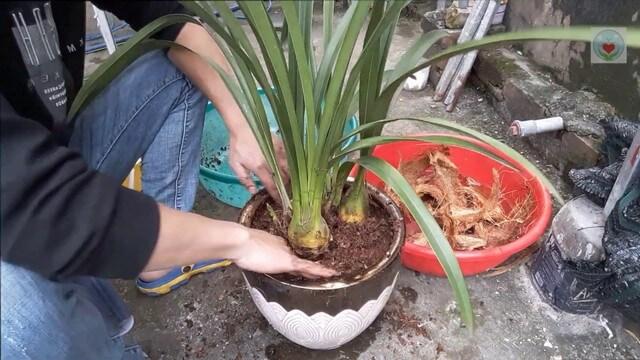 Đất trồng địa lan cần đáp ứng các yếu tố về dinh dưỡng giúp cây phát triển tốt nhất