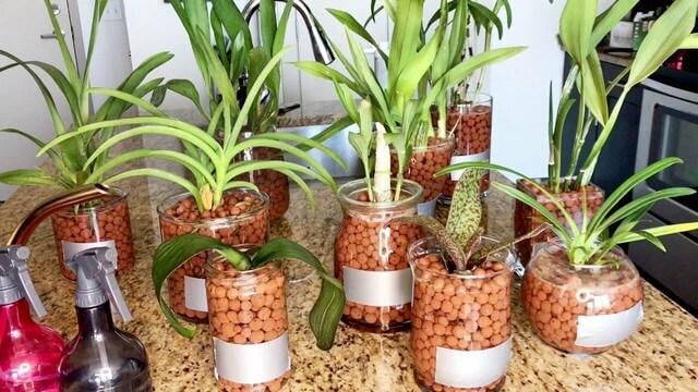 Trồng phong lan bằng giá thể đất sét nung