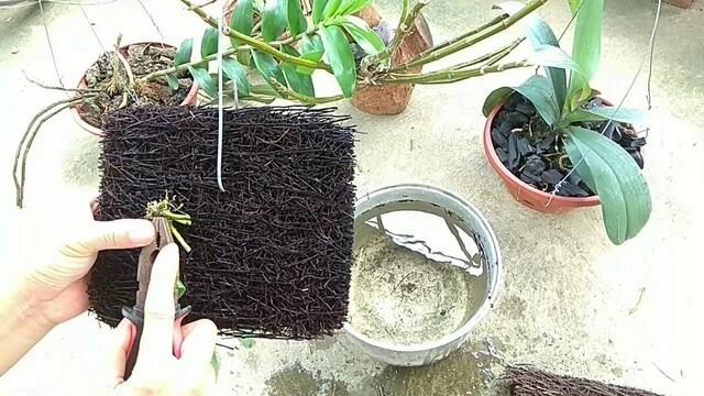 Bạn đã biết những gì về giá thể dớn trồng lan?