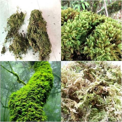 Một số loại rêu rừng cũng dùng làm giá thể trồng lan