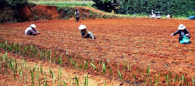 Khử chua đất trồng thế nào mới hiệu quả?