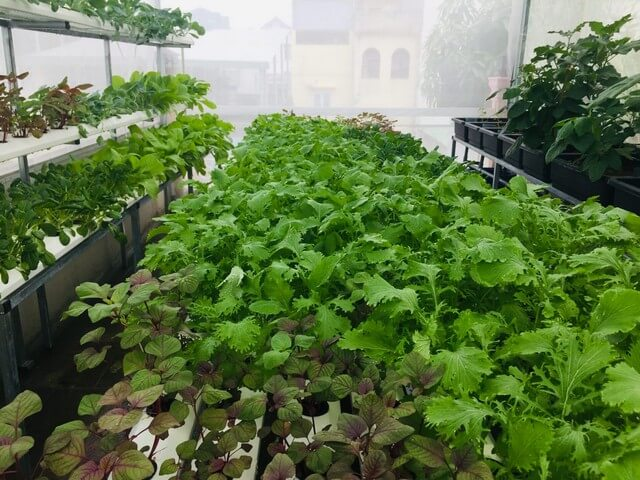 Vườn rau sạch tươi tốt trồng trên giá thể