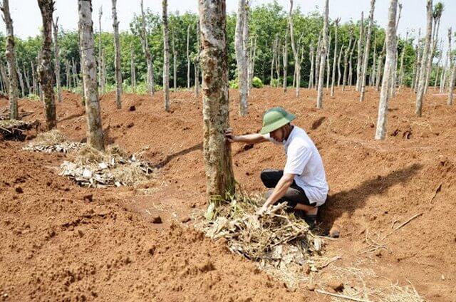 Hướng dẫn kỹ thuật xử lý đất trồng tiêu