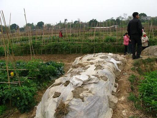 Ủ mùn cưa trong bạt kín làm giá thể trồng rau