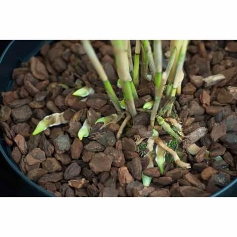 Vỏ thông cần được xử lý đúng cách trước khi trồng lan
