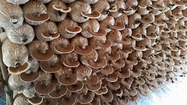 Trồng nấm Hương trên mùn cưa là kỹ thuật trồng hiện đại