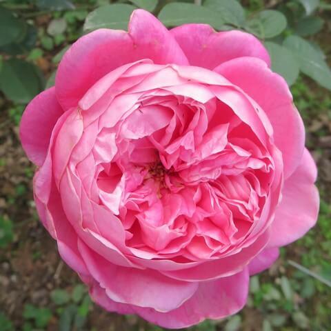Hoa hồng cổ Sapa được yêu thích nhờ nét đẹp hoàn mỹ không tì vết