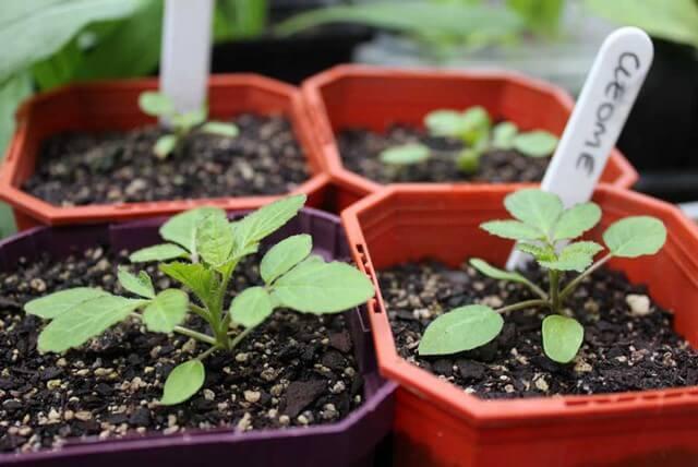 Đất trồng hoa hồng Hà Lan có khó phối trộn không?