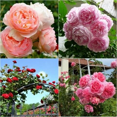 Hoa hồng Hà Lan rất đa dạng về kiểu dáng và màu sắc