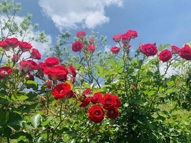 Bật mí top 4 địa chỉ bán đất trồng hoa hồng tại Đà Nẵng uy tín nhất