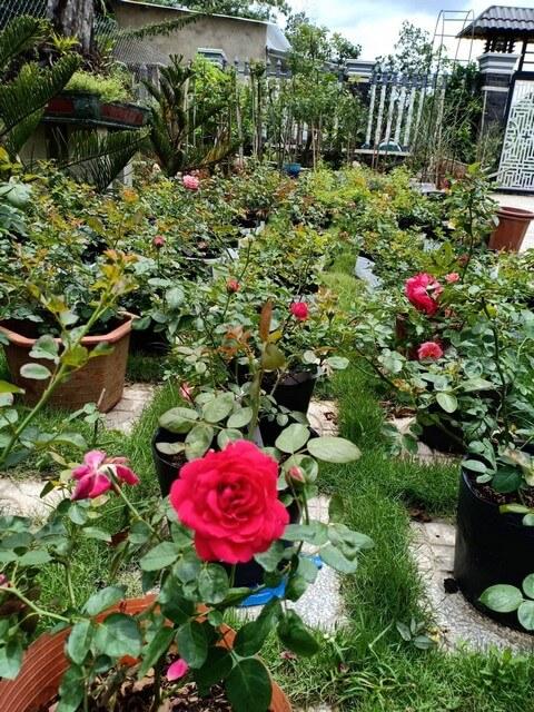 Điểm danh top 5 địa chỉ bán đất trồng hoa hồng tphcm chất lượng nhất
