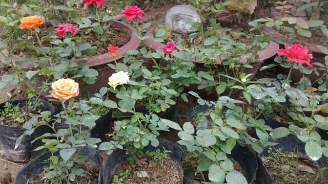 Hoa hồng là loài hoa dễ trồng và chăm sóc