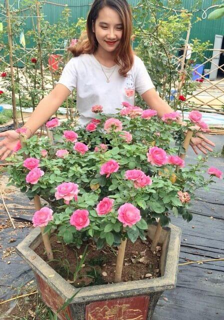 Làm đất trồng hoa hồng trong chậu cần phải có kinh nghiệm