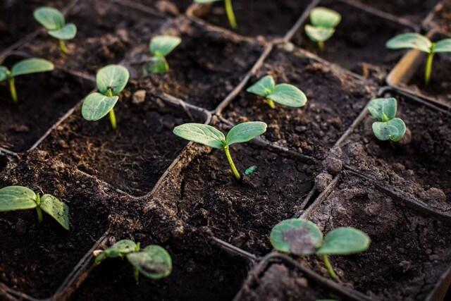 Mùn cưa cần phối trộn cùng đất và ủ trước khi trồng rau mới hiệu quả