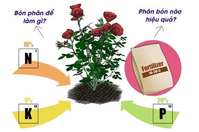 Phân bón lá cho hoa hồng nên dùng loại nào mới thực sự hiệu quả?