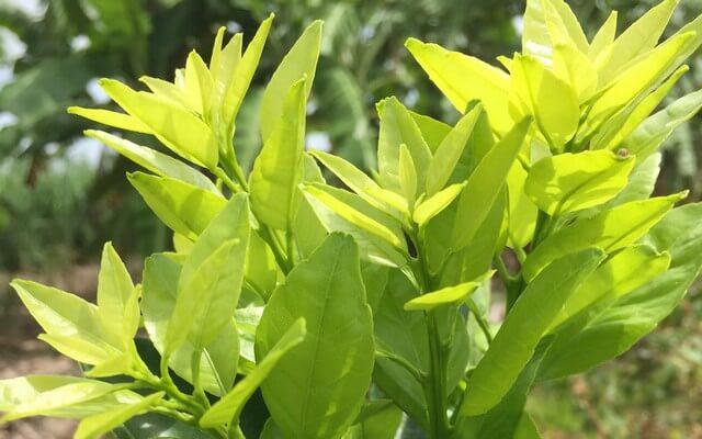 Phân bón lá đầu trâu kích thích cây nảy chồi, ra lá và kháng bệnh tốt