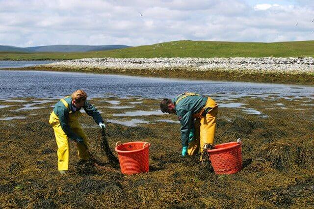 Phân bón lá rong biển có nguồn gốc từ 95% rong biển tươi tự nhiên
