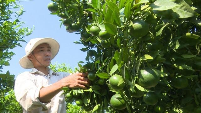 Phân bón lá rong biển dùng cho cây ăn quả giúp tăng năng suất, chất lượng
