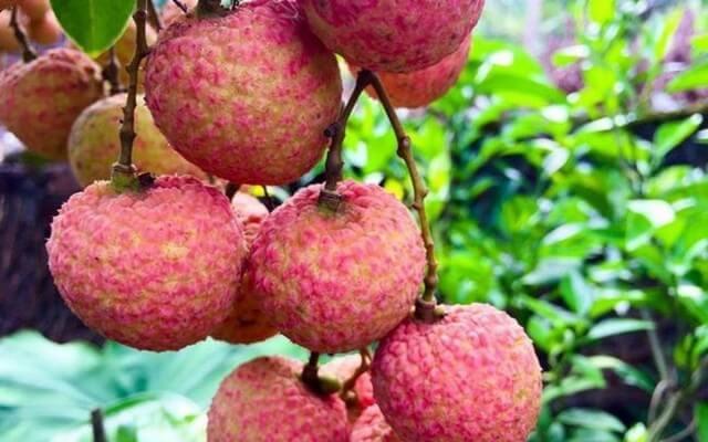 Phân bón lá dưỡng trái to, chín đều, màu sắc và hương vị thơm ngon