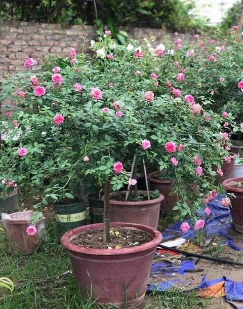 Đất trồng hoa hồng thân gỗ có gì khác với hồng thân leo hay hồng bụi?