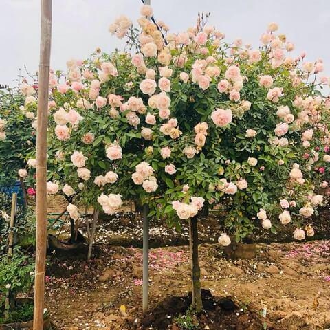Hoa hồng thân gỗ có giá trị thẩm mỹ cao, cây khỏe mạnh