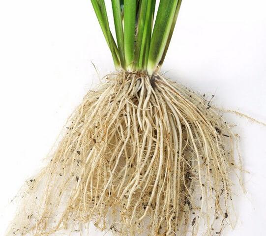 Công dụng chính của phân bón lá Plasti là kích rễ, đẻ nhánh nhanh chóng
