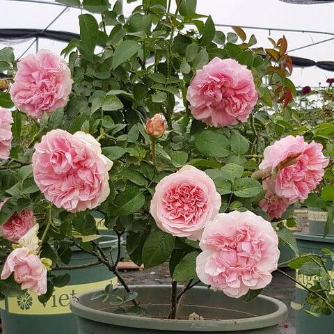 Đất sạch trồng hoa hồng giúp cây kháng bệnh tốt, sai hoa