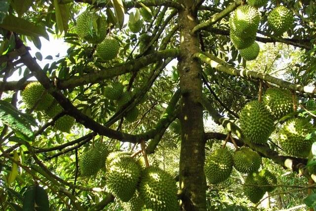 Điểm qua top 5 phân bón lá cho cây sầu riêng chất lượng nhất