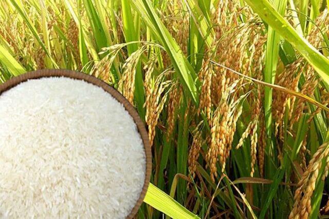 Phân bón lá Gold Star tốt cho lúa ở giai đoạn cây làm đòng và nuôi hạt