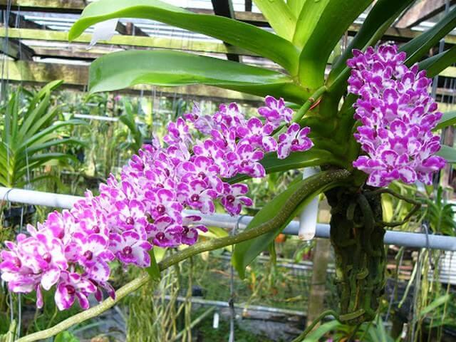 Sử dụng HVP vitamin B1 đúng cách kích hoa nở đồng loạt, màu sắc rực rỡ