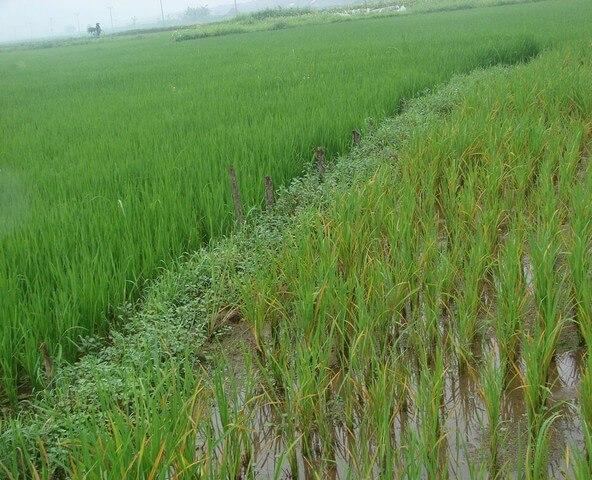 Nên sử dụng phân bón lá lúa nào mới thực sự chất lượng?