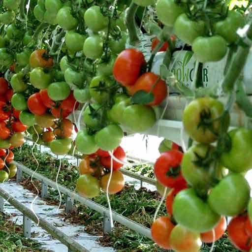 Giá thể xơ dừa ép thẻ Grow bag trồng cà chua 3 product