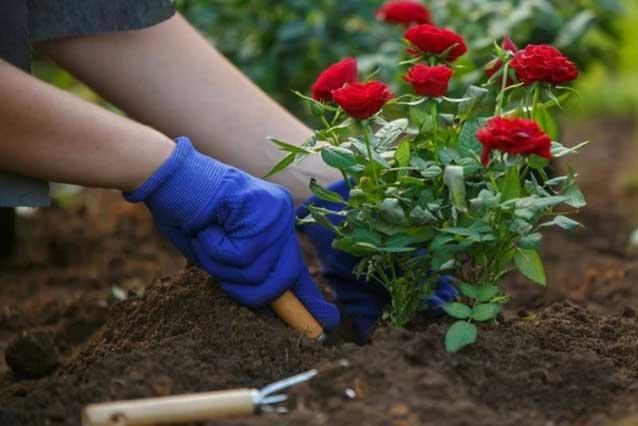 Môi trường sống và đất trồng hoa hồng