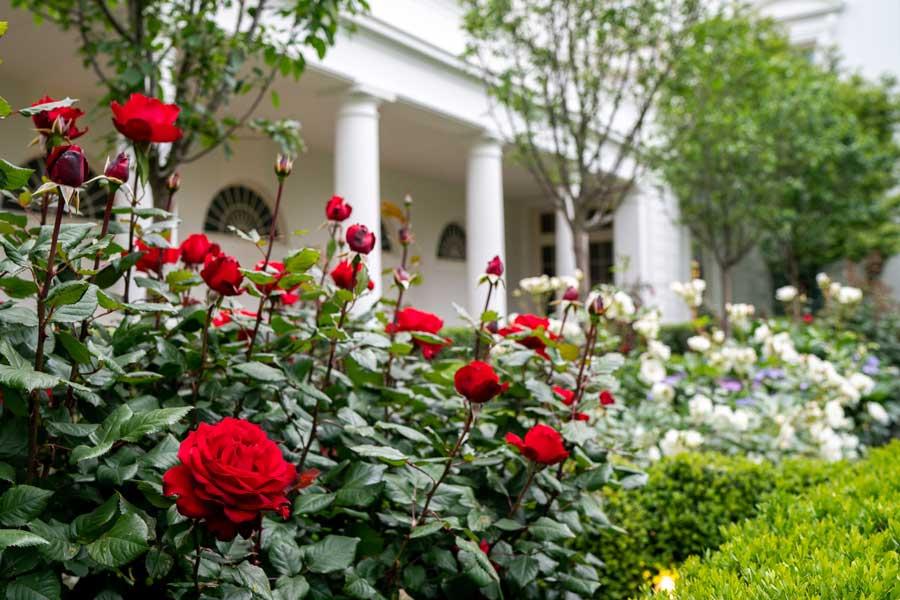 Vườn hồng khỏe mạnh