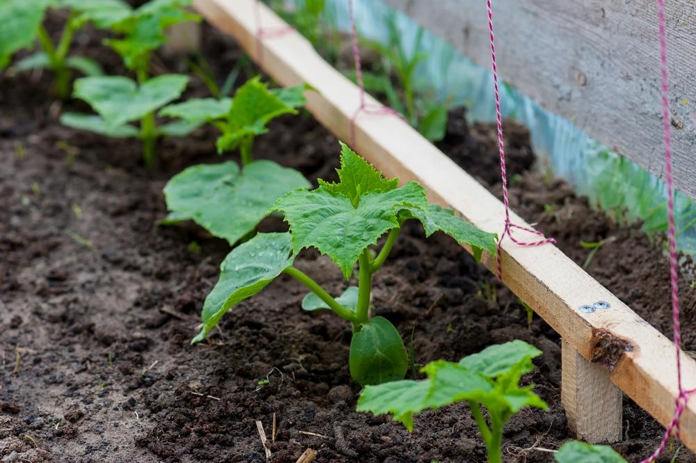Đất trồng dưa chuột