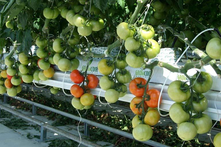 Giá thể xơ dừa ép thẻ Grow bag trồng cà chua 4