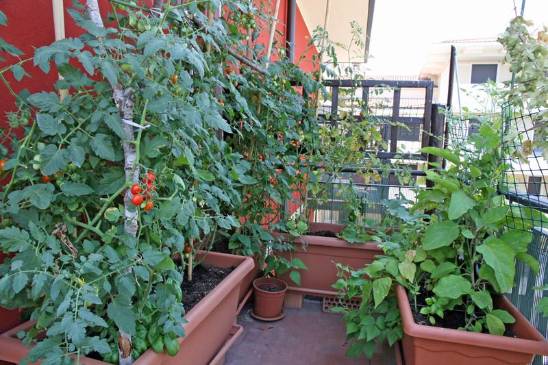 trồng dưa chuột cà chua trên sân thượng