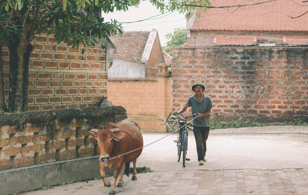 Nhà vườn nên sử dụng phân bò tươi hay phân bò hoai mục?