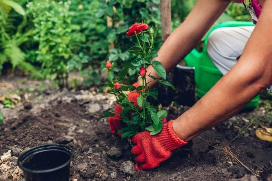 Hướng dẫn cách thay đất trồng hoa hồng đơn giản mà đạt hiệu quả cao