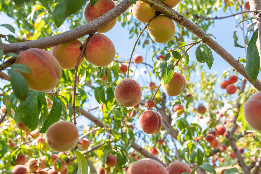 Cách cải tạo đất trồng cây ăn quả tốt nhất