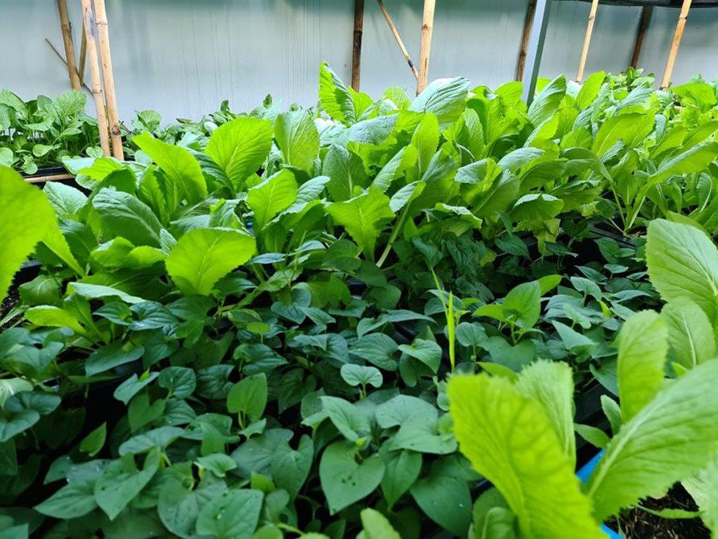 Cải tạo đất trồng rau sau thu hoạch đơn giản mà hiệu quả