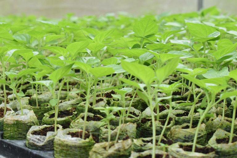 Viên nén mụn dừa gieo mầm