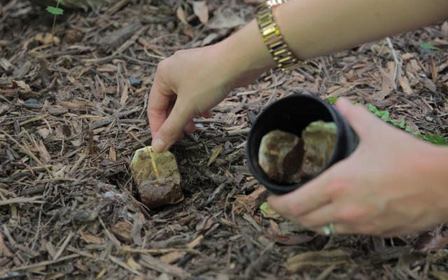 Sử dụng bã trà làm phân bón cho cây trồng cực kỳ hiệu quả