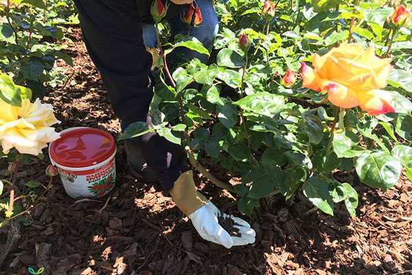 bón phân chuồng cho hoa hồng