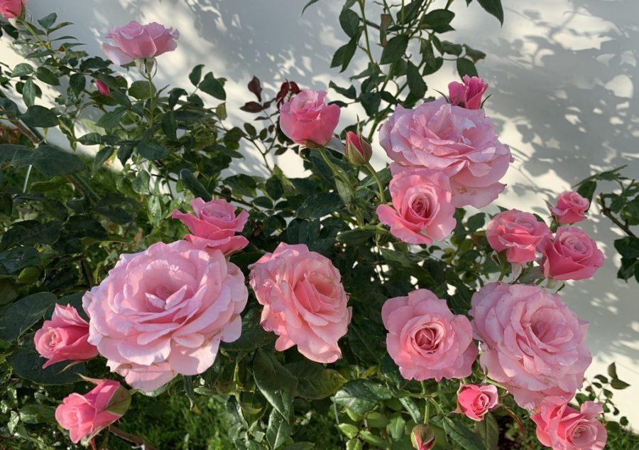Nguyên nhân và giải pháp cho hoa hồng bị rụng lá